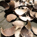 coconut shells from the beach